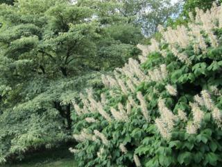 Pavier blanc, marronnier nain, Aesculus parviflora : plantation, culture, entretien