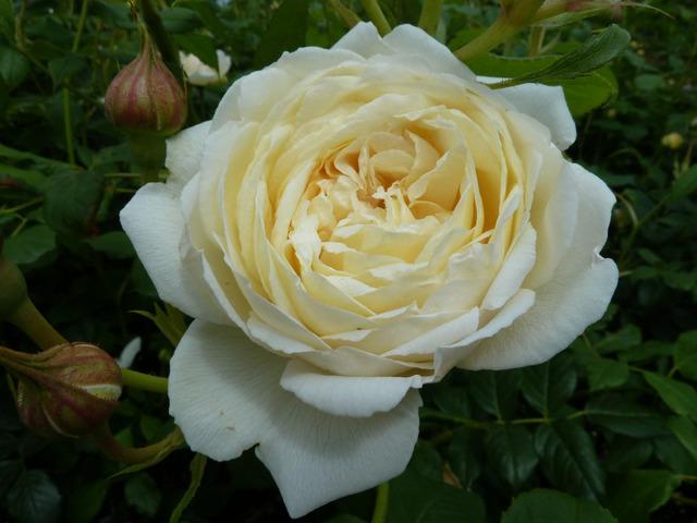 Rosier anglais Claire Austin® Ausprior (David Austin) (Les plus beaux rosiers blancs)