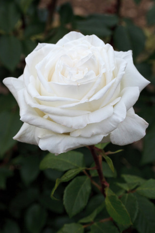 Rosier à grandes fleurs PIERRE ARDITI® Meicalanq (Meilland) (Les plus beaux rosiers blancs)