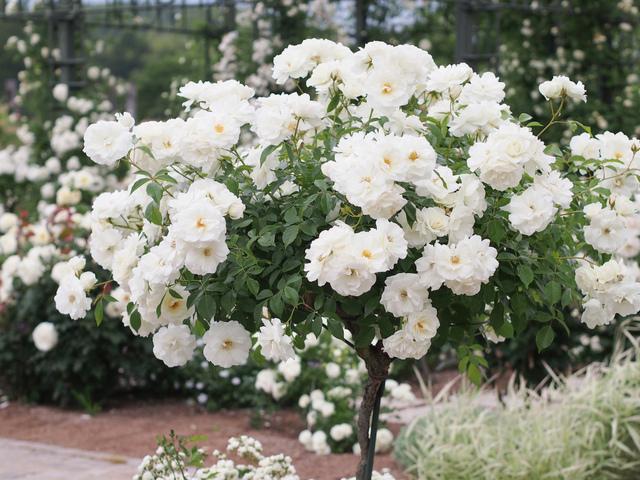 Rosier buisson Iceberg® Korbin (Kordes) (syn. Fée des Neiges®) (Les plus beaux rosiers blancs)