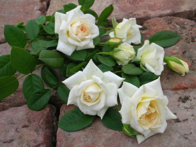 rosier grimpant grandes fleurs blanche colombe. Black Bedroom Furniture Sets. Home Design Ideas