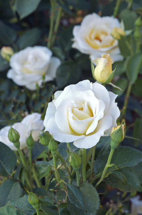 rosier buisson grandes fleurs grand nord delgrord. Black Bedroom Furniture Sets. Home Design Ideas