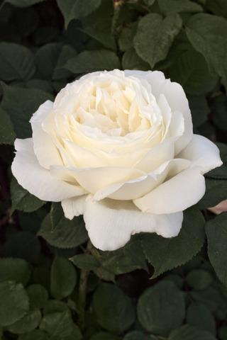 Rosier à grandes fleurs JEANNE MOREAU® Meidiaphaz (Meilland) (Les plus beaux rosiers blancs)