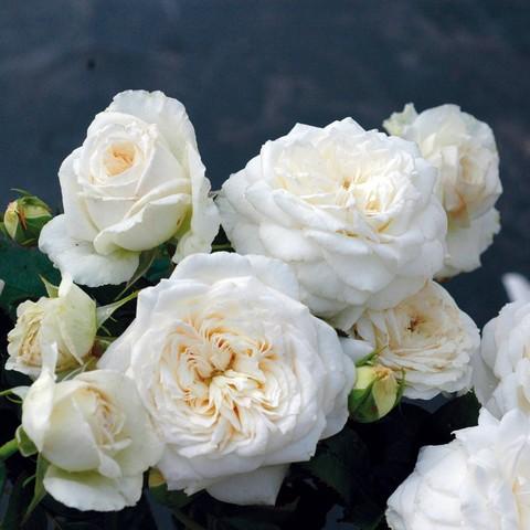 rosier grandes fleurs jeanne moreau meidiaphaz. Black Bedroom Furniture Sets. Home Design Ideas