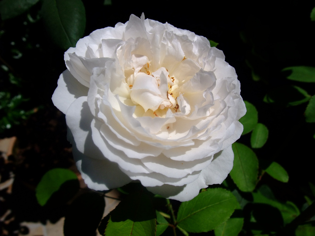 Rosier anglais Winchester Cathedral® Auscat (David Austin) (Les plus beaux rosiers blancs)