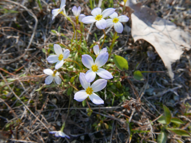 Houstonie bleue, Houstonia caerulea : plantation, culture, entretien