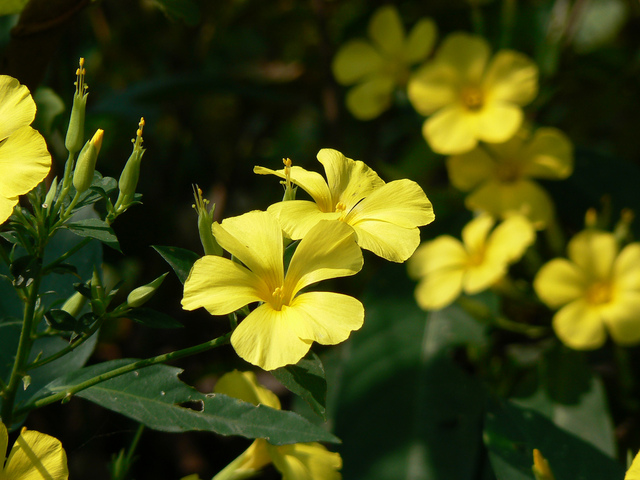 Lin jaune arbustif, Reinwardtia indica : plantation, culture, entretien