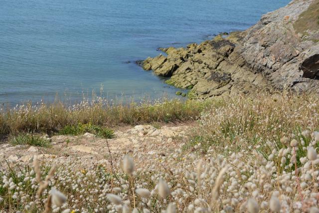 Lagurus ovatus en bord de mer (Flore de bord de mer)