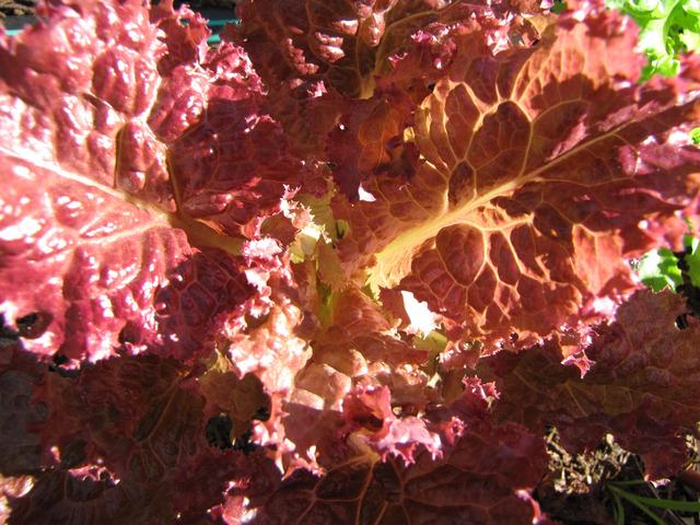 Salades et autres feuilles à couper : espèces, variétés