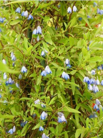 Sollya heterophylla : plantation, culture, entretien