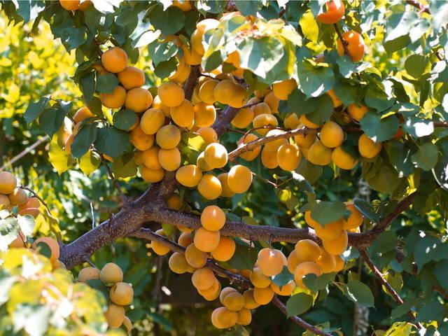 Abricotier : plantation, culture et conseils de taille