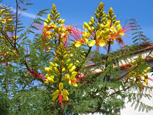 Oiseau de paradis : culture, entretien, floraison