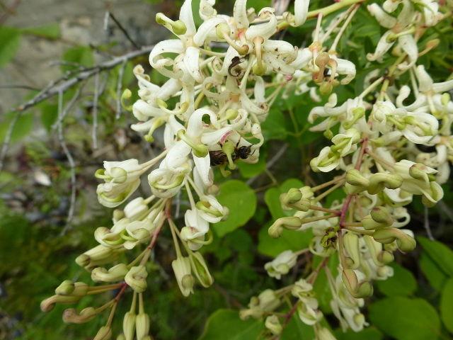 Lomatia tinctoria : port gracieux et floraison originale