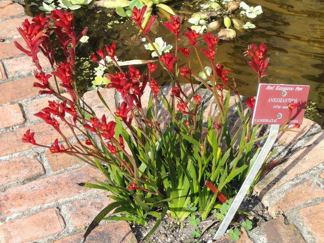 Anigozanthos rufus, patte de kangourou rouge : culture et entretien
