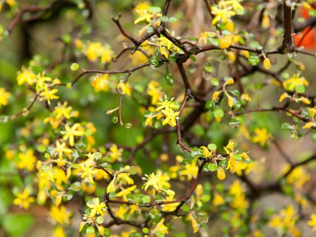 Corokia cotoneaster : plantation, culture, entretien