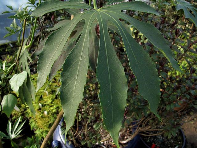 Fatsia polycarpa : plantation, culture, entretien
