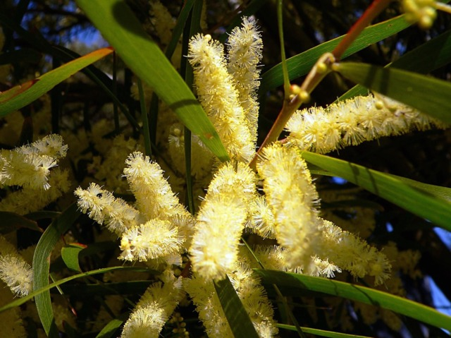 Mimosa chenille : plantation, entretien et multiplication