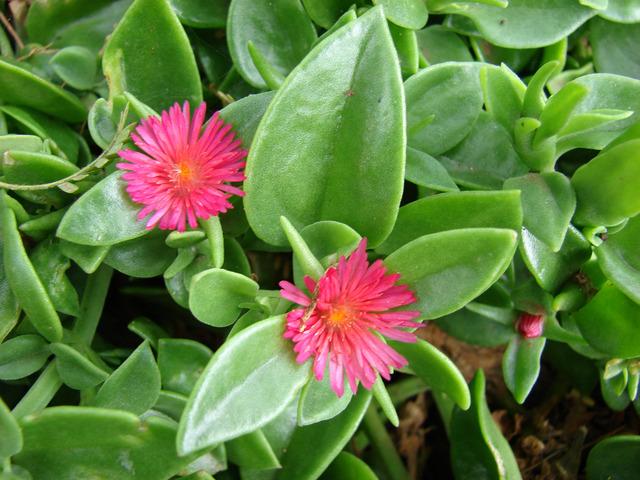 Aptenia cordifolia : plantation, culture et entretien