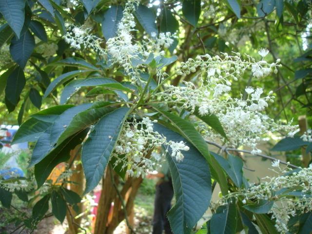 un arbre Martin le 1er Avril 2020 trouvé par Martine - Page 2 Clethra-barbinervis-fleurs