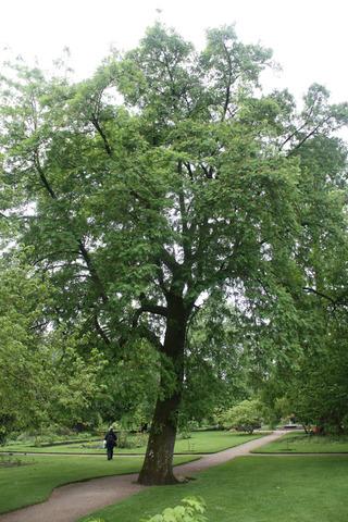 Cormier, Sorbus domestica : plantation, culture,
