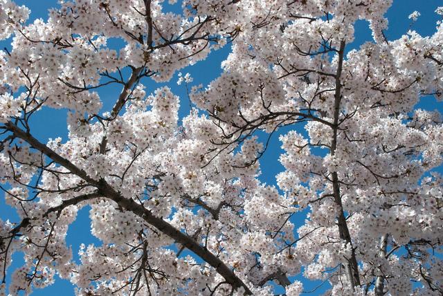 Cerisier à fleurs (Arbres et arbustes à la floraison spectaculaire)