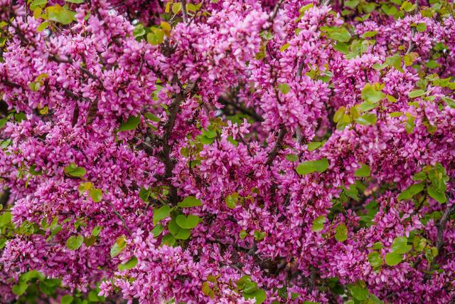 Arbre de Judée (Cercis siliquastrum) (Arbres et arbustes à la floraison spectaculaire)
