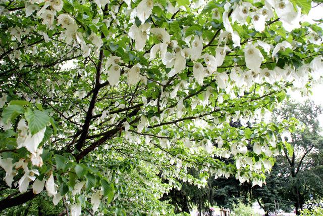Arbre aux mouchoirs (Davidia involucrata) (Arbres et arbustes à la floraison spectaculaire)