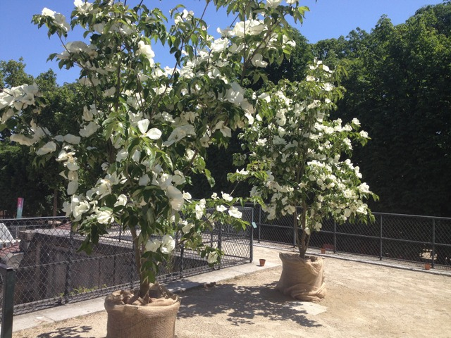 Cornouiller (Cornus kousa 'Venus') (Arbres et arbustes à la floraison spectaculaire)