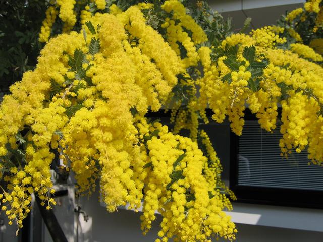 Mimosa (Acacia dealbata) (Arbres et arbustes à la floraison spectaculaire)
