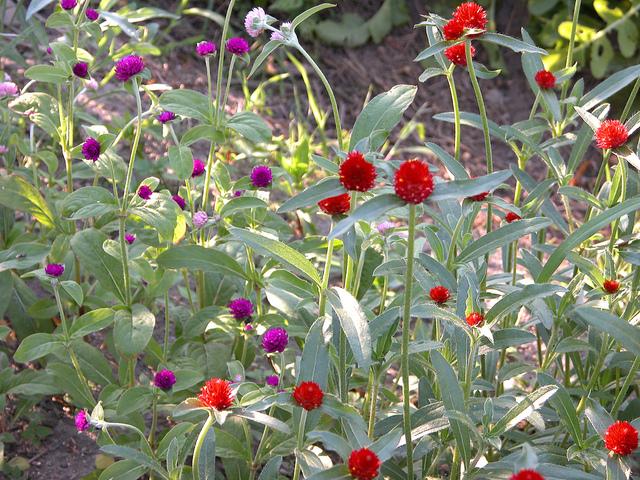 Gomphrena globosa : décoratif et facile à cultiver