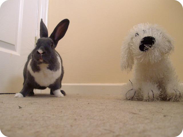 Jouer avec son lapin nain : comment le manipuler, accessoires