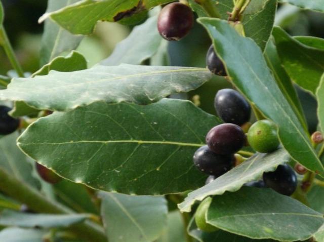 Le laurier noble, une plante santé