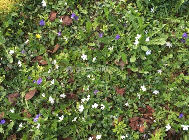 Le nettoyage des plantes couvre-sol : désherber, diviser...