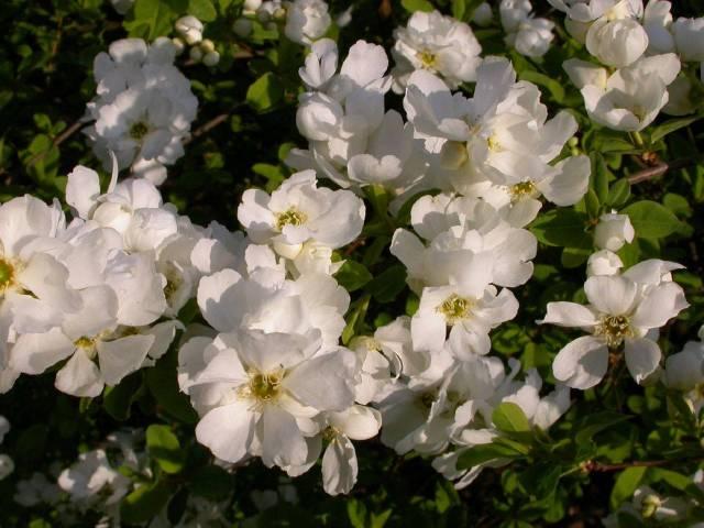 Exochorda : une extraordinaire floraison de printemps