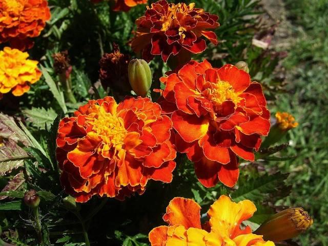 Oeillet d'Inde : semis, plantation et propriétés