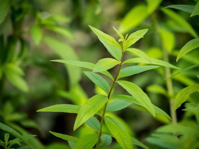 Cultivez la verveine odorante