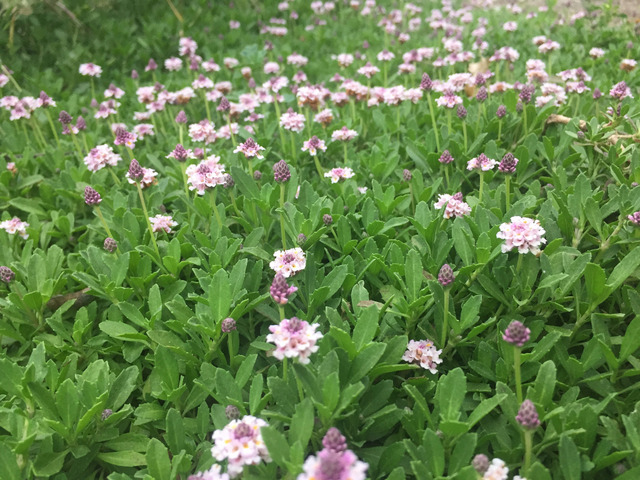 Lippia nodiflora : comment la cultiver