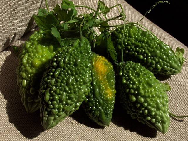 Concombre amer, margose, Momordica charantia : semis et culture