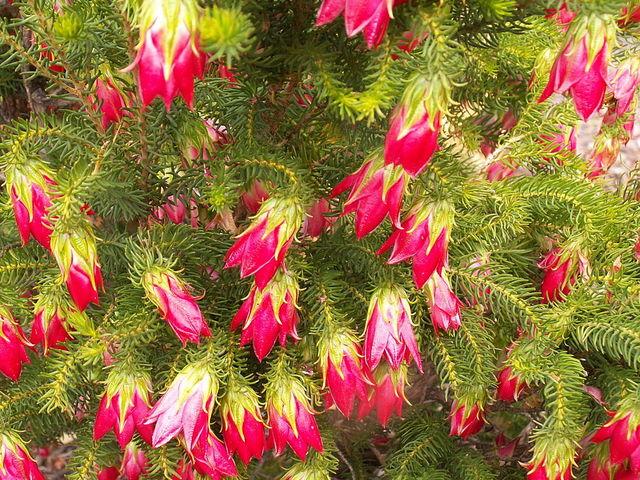 Darwinia oxylepis : plantation, culture, entretien