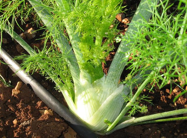 Le fenouil : légume ou graines, quelles sont ses propriétés ?