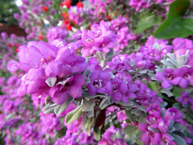 Leucophyllum frutescens, sauge du désert : comment la cultiver ?