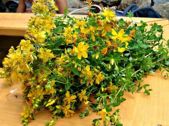Le millepertuis, une plante aux nombreuses propriétés et contre-indications