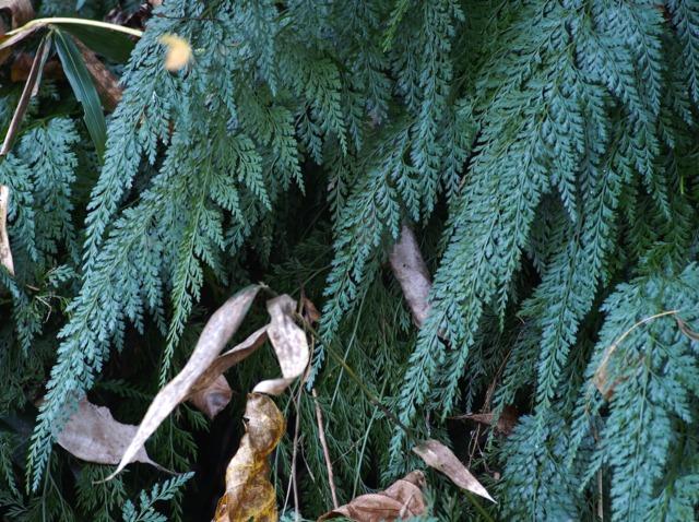 Comment cultiver et entretenir Onychium japonicum, la fougère carotte ?