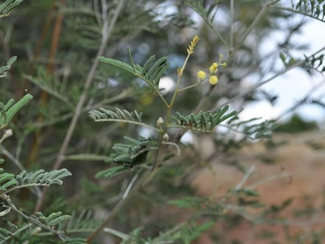 Acacia deanei : plantation, culture et entretien