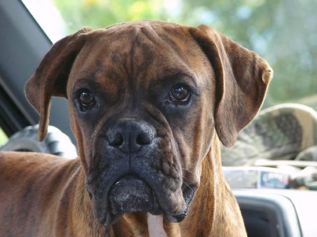 Le boxer, un chien dynamique au caractère enjoué