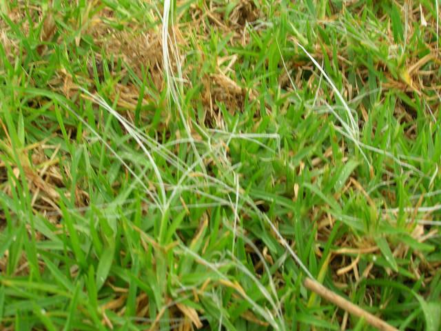 Gazon kikuyu : semis, entretien et arrosage