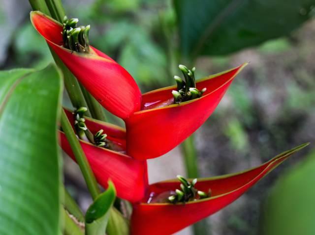Heliconia, faux oiseau de paradis