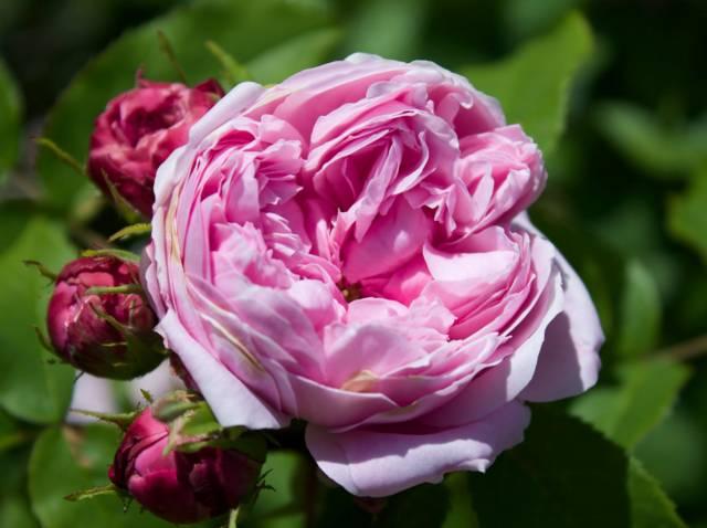 Les rosiers de Damas, des rosiers anciens parfumés