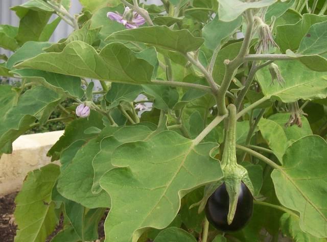 Semis d'aubergine : quand et où semer ?