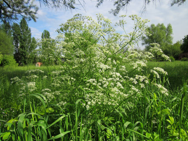 Anthriscus sylvestris, le cerfeuil sauvage